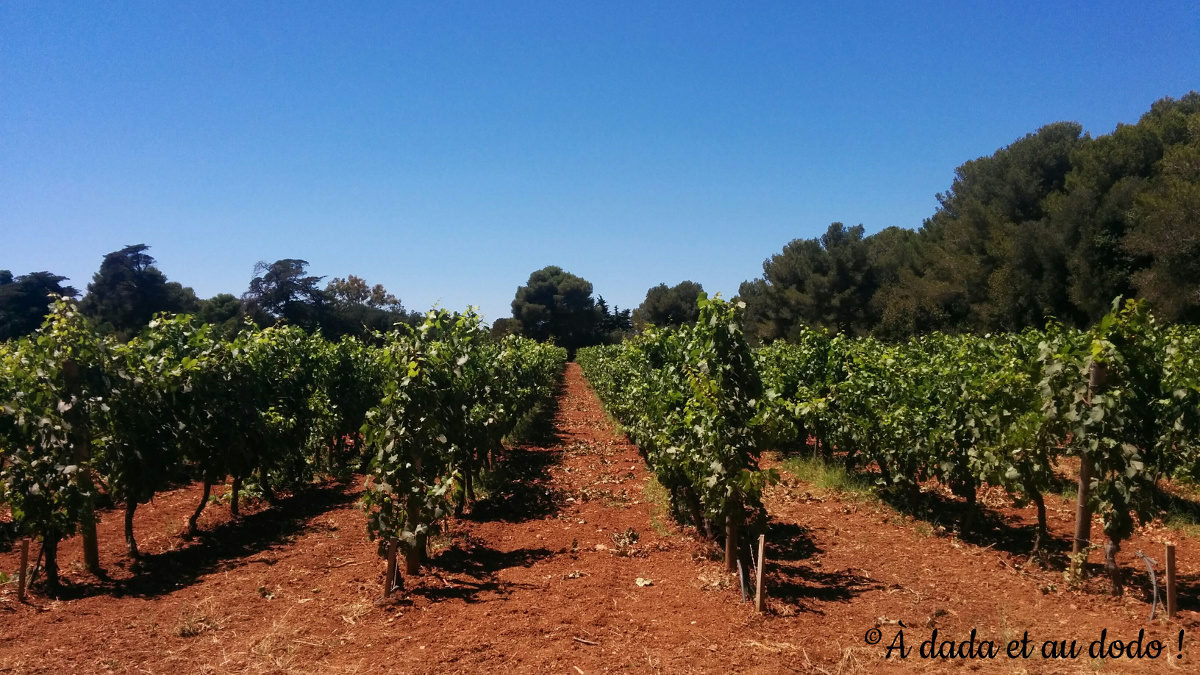 Vignes de l'île Saint Honorat